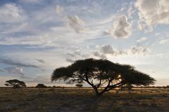 Stock Photo of Africa, Botswana, View of central kalahari game reserve with a umbrella acacia