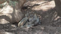 Mexican Wolf Stock Footage