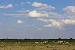 Stock Photo of Africa, Botswana, Gemsbok in central kalahari game reserve