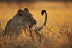 Africa, Botswana, Lioness in central kalahari game reserve - stock photo