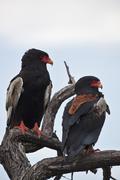 Africa, Botswana, Bateleur in central kalahari game reserve Stock Photos