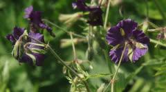 Geranium phaeum, Dusky Cranesbill close up + honey bee in background Stock Footage