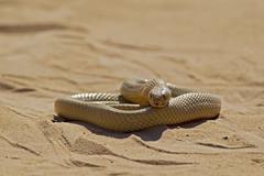 Stock Photo of Africa, Botswana, South Africa, Kalahari, Cape cobra in Kgalagadi Transfrontier