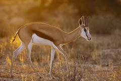Stock Photo of Africa, Botswana, South Africa, Kalahari, Springbok antelope in Kgalagadi