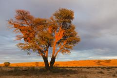 Stock Photo of Africa, Botswana, South Africa, Kalahari, Sociable Weaver nests on tree in