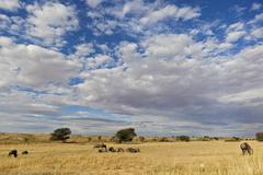 Stock Photo of Africa, Botswana, South Africa, Kalahari, Blue Wildebeest in Kgalagadi