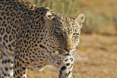 Africa, Botswana, South Africa, Kalahari, Leopard in kgalagadi transfrontier - stock photo