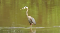 Amid Nature - Great Blue Heron Hunts a Meal Stock Footage