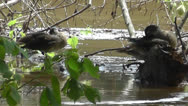 Amid Nature - Immature wood ducks take a break on submerged logs. Stock Footage