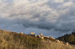 Austria, Steiermark, Reiteralm, Flock of sheep in field Stock Photos