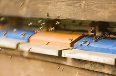 Mehiläinen nokkosihottuma (Apis mellifera) Kuvituskuvat