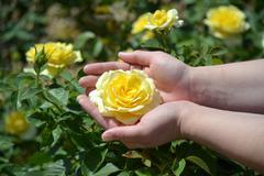 Yellow Rose Hand Stock Photos