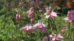 Aquilegia vulgaris pink flowers - zoom out garden Stock Footage