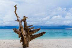 Root die tree on the beach Stock Photos