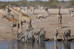 Africa, Namibia, Safari animals at waterhole in etosha national park - stock photo
