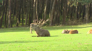 Stock Video Footage of Red deer rut, dominant bull sits at forest edge and bugling