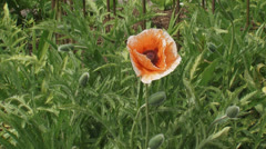 Oriental poppy, papaver orientale blooming in garden Stock Footage