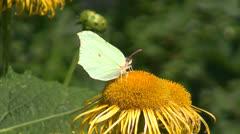 Brimstone butterfly (Gonepteryx rhamni)  on on summer flower Stock Footage