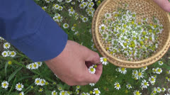 Picking  medical herb chamomile in summer garden Stock Footage