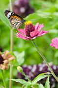Stock Photo of monarch butterfly on zinnia flower