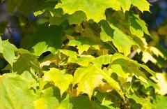yellow maple leafs on tree - stock photo