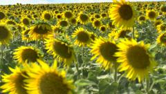 Sunflowers in the field Stock Footage