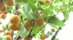 Branch of a tree studded with apricoranch of a tree studded with apricot fruit - stock footage