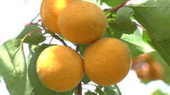 Branch of a tree studded with apricot fruit - stock footage