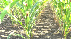 Field of a corn Stock Footage