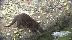Otters playing Stock Footage