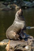 Female south american fur seal resting Stock Photos