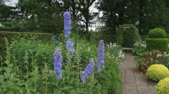 Delphinium 'Lady Guinevere' blooming in kitchen garden - blue Stock Footage