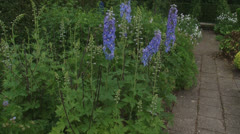 Delphinium 'Lady Guinevere' blooming in kitchen garden - tilt up Stock Footage