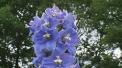 Delphinium 'Lady Guinevere'  blooming  close up + pan Stock Footage