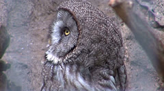 Great Gray Owl (Strix nebulosa) - stock footage
