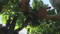 Harvesting Grapes 7 closeup Stock Footage