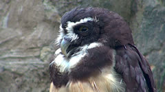 Owls resting Stock Footage