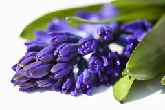 Grape Hyacinth Flowers (Hyacinthus), close-up - stock photo