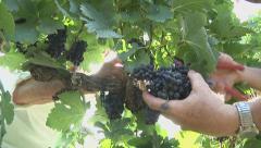 Harvesting Grapes 6 closeup Stock Footage