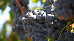 Red Grapes on the Vine Close Up Stock Footage