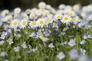 Stock Photo of Germany, Bavaria, Wild daisies (Asteraceae), close-up