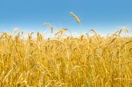 Stock Photo of wheat field close-up