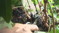 Harvesting Grapes Stock Footage