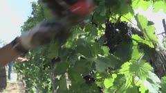 Harvesting Grapes 4 closeup Stock Footage