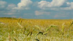 Ears of rye on the field Stock Footage