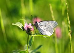 White butterfly sits on a clover Stock Photos