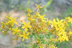 Yellow beautiful flowers of St.-John's wort - stock photo