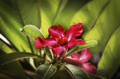 Asia, Indonesia, Bali, Desert rose, (Adenium Obesum), close-up Stock Photos