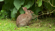 Stock Video Footage of Eastern Cottontail (Sylvilagus floridanus) 2