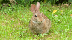 Eastern Cottontail (Sylvilagus floridanus) 4 Stock Footage